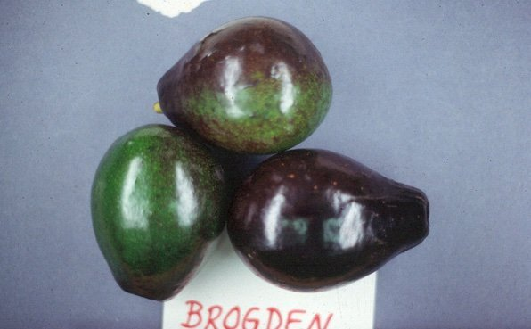 Brogdon - Avocado